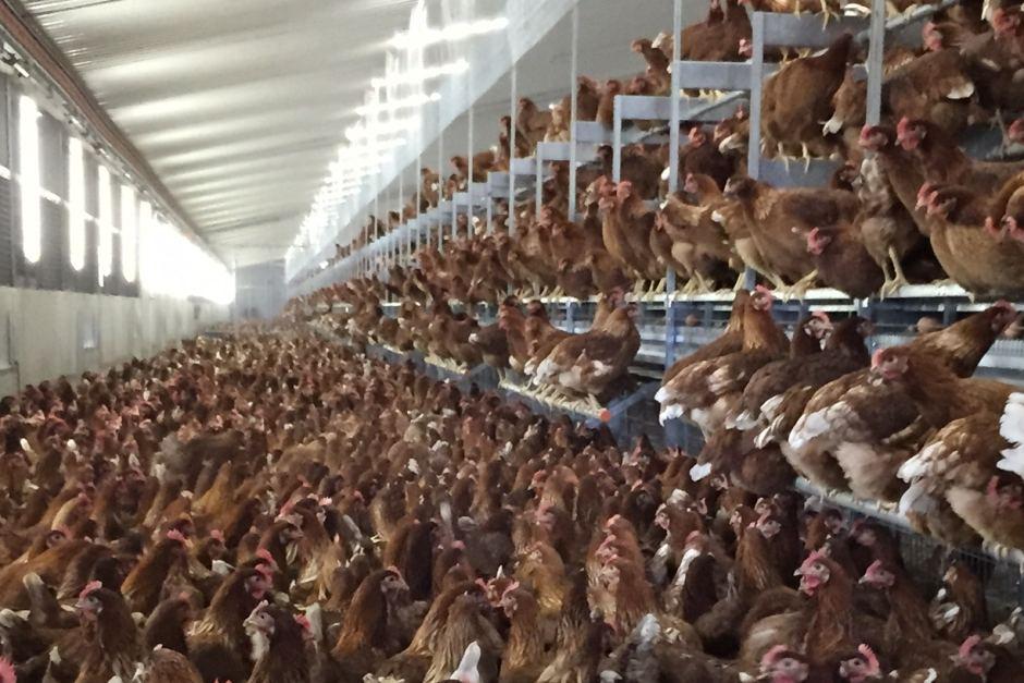 Come il capitalismo rende brutale anche la condizione di vita degli animali